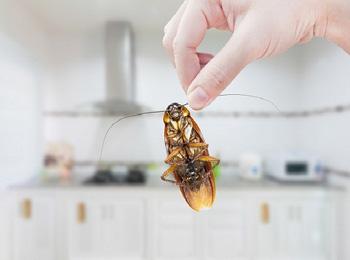 GIÁN ĐỨC đang hoành hoành và đã tiến hóa để kháng thuốc diệt côn trùng ở Việt Nam
