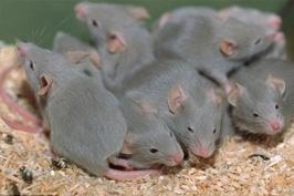 Tác hại của chuột đối với mọi nhà